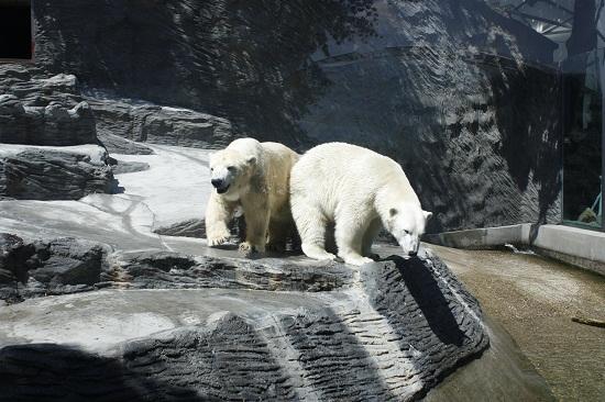 Пражский зоопарк, белые медведи